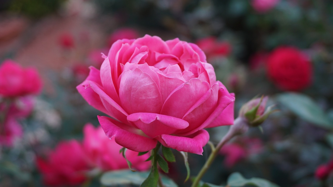 a-rose-1039817_1280