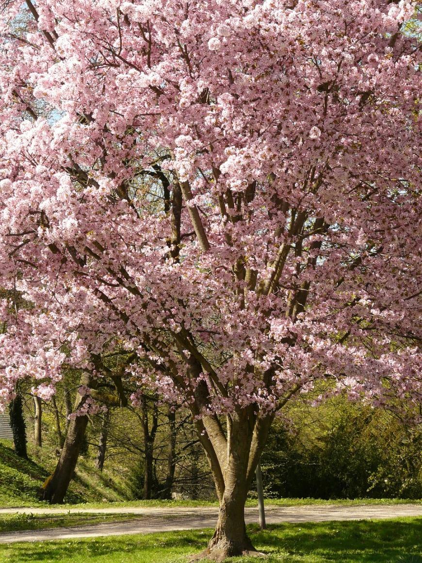 cherry-blossom-6509_1280