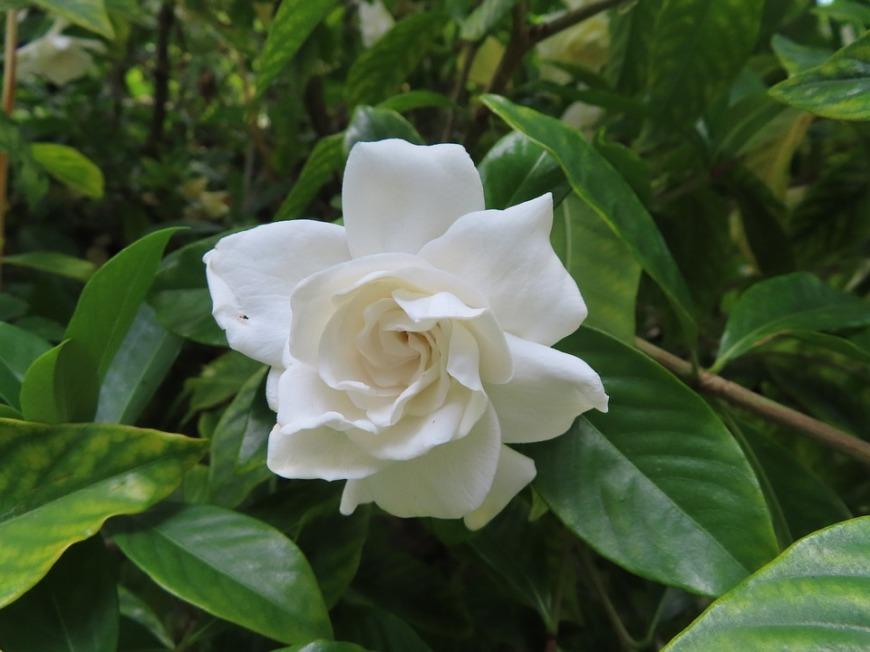gardenia-50